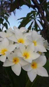 Some of the beautiful Plumeria flowers on Guam.