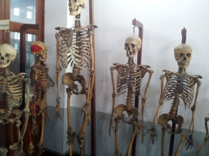 adult skeletons