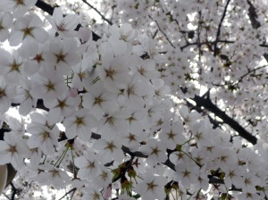 bunches_of_blossoms