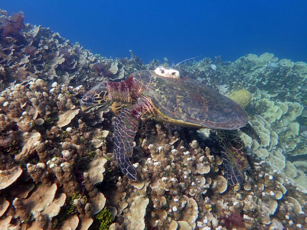 Hawksbill sea turtle by Jenifer DeLemont