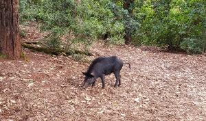 pig on trail.jpg