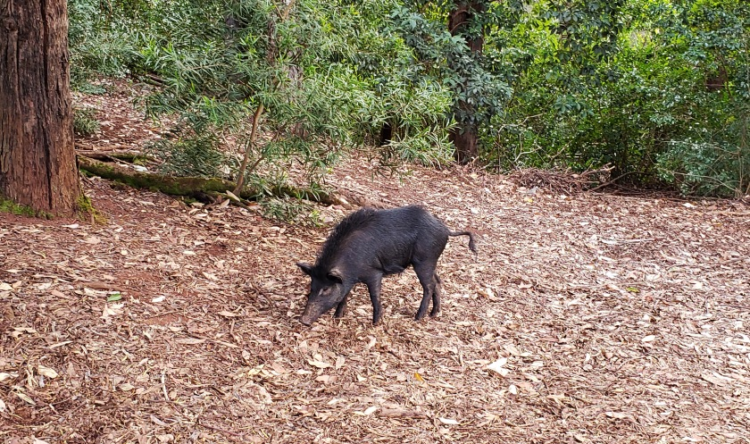 pig on trail.jpg