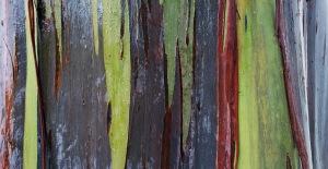 rainbow eucaplyptus.jpg