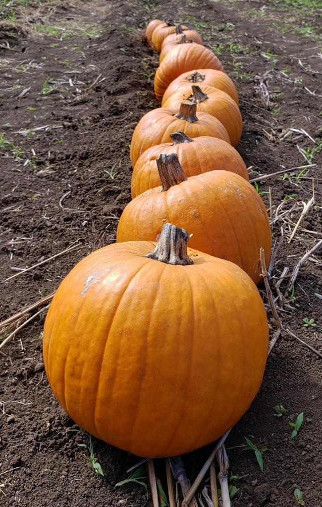 pumpkin line