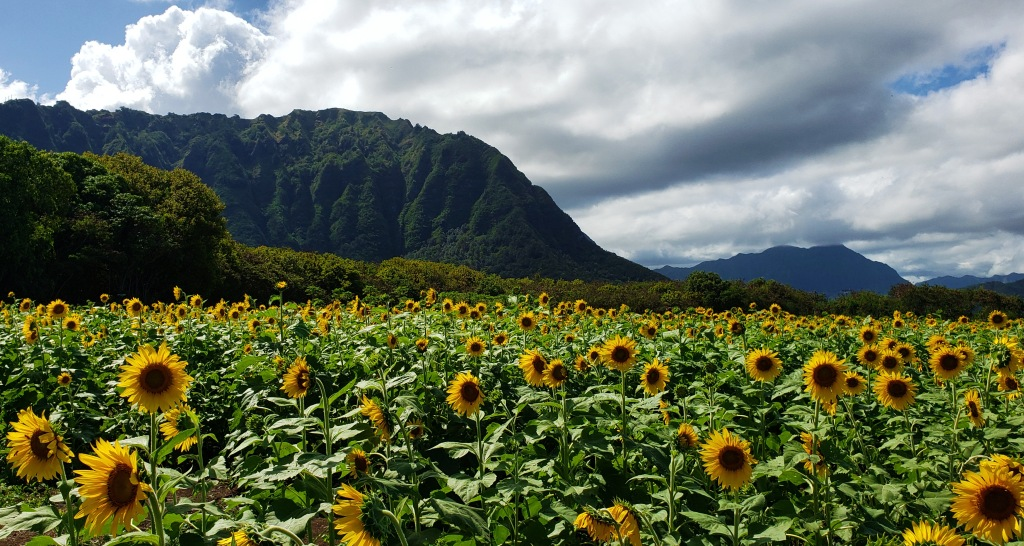 sunflower feild is awesome