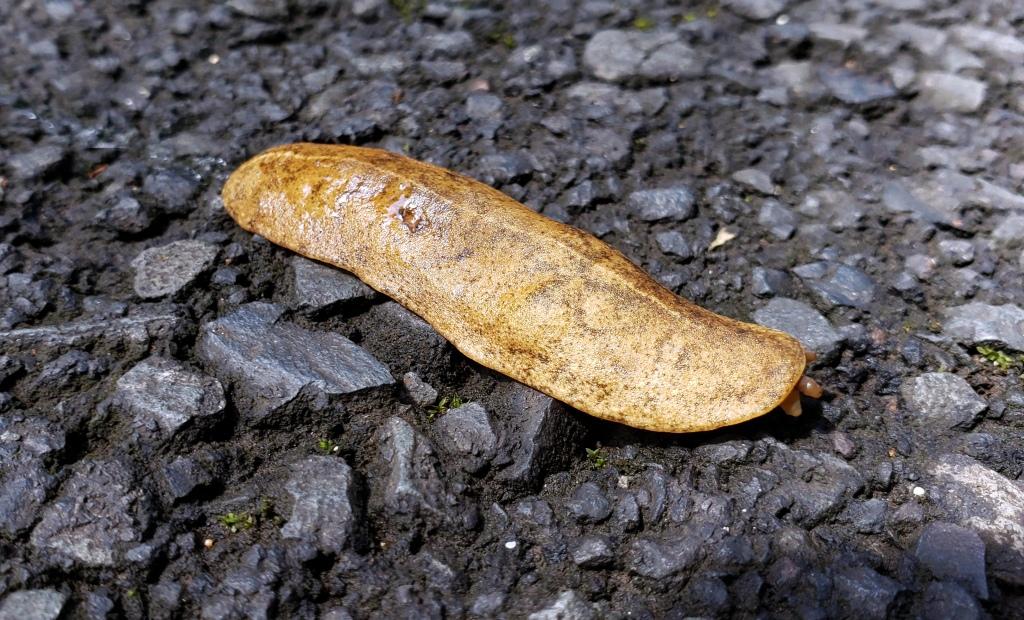 weird flat slug